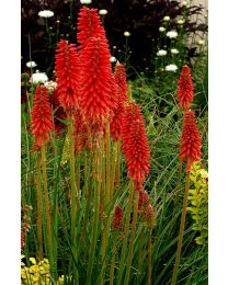 Kniphofia Redhot Popsicle
