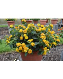 Lantana Big Yellow
