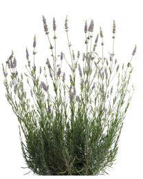 Lawenda Provence 144
