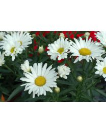 Leucanthemum White Mountain