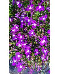 Lobelia Lobelix Dark Violet