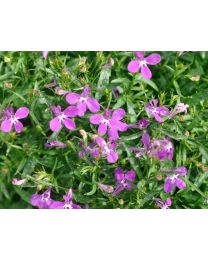 Lobelia Lobelix Purple