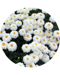 Leucanthemum Macaroon