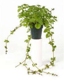 Mentha Curly