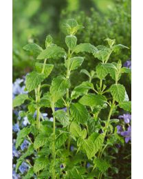 Mentha piperita Strawberry