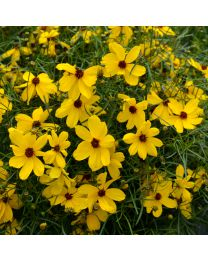Coreopsis Imperial Sun