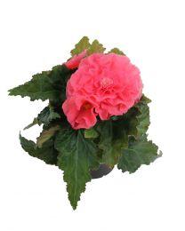 Begonia Nonstop Pink 220 szt