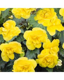 Begonia Nonstop Joy YELLOW 84