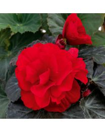 Begonia Mocca Deep Red 84 szt