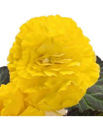 Begonia Nonstop YELLOW WITH RED BACK 84