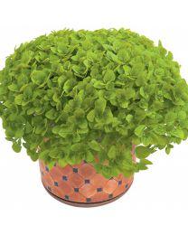 Origanum Aureum Green