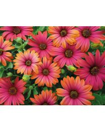 Springstar Cape Daisy  Fire Burst