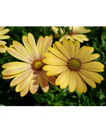 Osteospermum Cape Daisy  Magic Sunrise