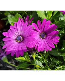 Springstar Cape Daisy  Purple