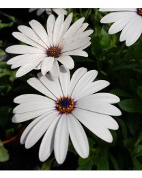 Cape Daisy White