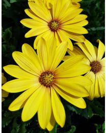 Springstar Cape Daisy  Yellow Halo