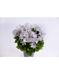Pelargonia Grandiflora Aristo White 12 cm