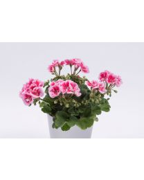 Pelargonia Flower Fairy Pink
