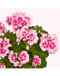Pelargonia TRENDIX Lavender Pink Eye / Vera Pink with Eya