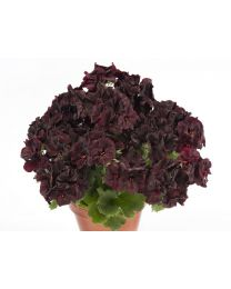 Pelargonia Grandiflora Aristo Black Velvet 12 cm