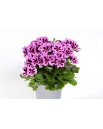 Pelargonia Grandiflora Aristo Lilac Purple 12 cm
