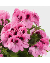 Pelargonia Grandiflora Aristo Pink