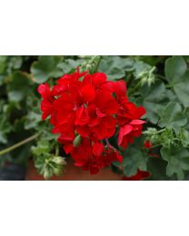 Pelargonia Allegria Early Red