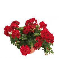 Pelargonia Allegria Velvet Red