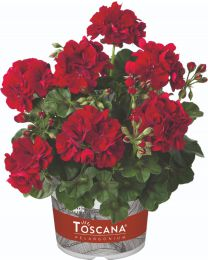 Pelargonia Sunflair® GMX Ruben Dark Red