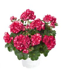 Pelargonia Sunflorix Red with White