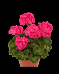 Pelargonia Dazzling Pink