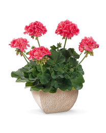Pelargonia Mosaic Red