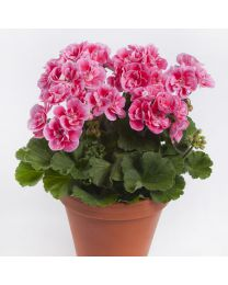 Pelargonia Spanish Wine Rose
