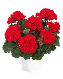 Pelargonia TRENDIX Scarlet/Trendix Mylena Red