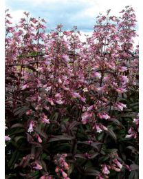 Penstemon Dark Tower