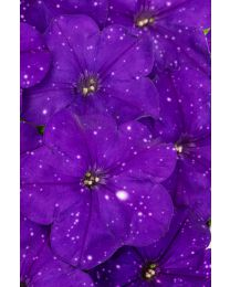Petunia Constellation Virgo