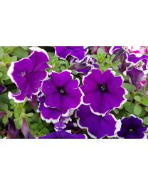 Supertunia Blue Picotee