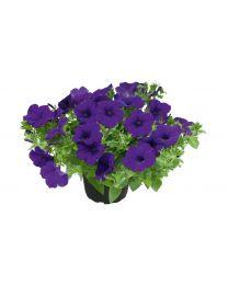 Supertunia Kuyamba Lilac Blue
