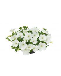 Supertunia Kuyamba White