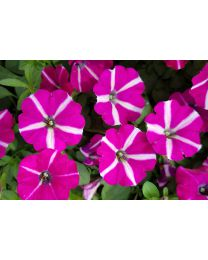 Supertunia seria Star - Sangria Star