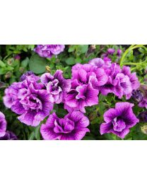 Supertunia Sugar Plum