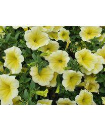 Petunia Veranda Limoncello