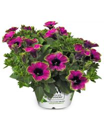 Petunia Veranda Picasso / Tea Purple Green Edge