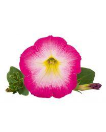 Petunia Veranda Pink Morn 2022