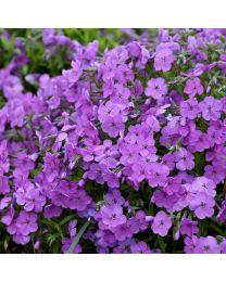 Phlox subulata Purple Sprite