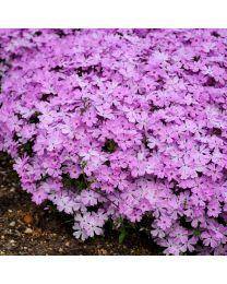Phlox subulata Spring Bling Pink Sparkles