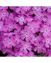 Phlox subulata Spring Bling Rose Quartz