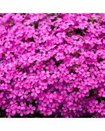 Phlox subulata Spring Bling Ruby Riot