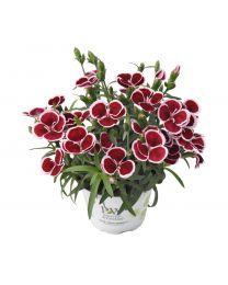 Dianthus Pinocchio Burgundy Bicolor