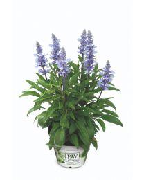 Salvia Light Candel